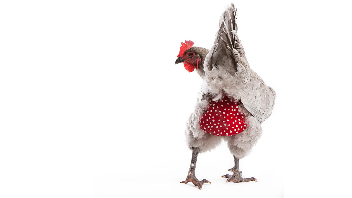 Clucking all the way to the bank: A hen models a polka-dot diaper from MyPetChicken.com, a multimillion-dollar business that sells everything from chicken caviar treats to day-old birds.