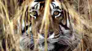 What if this big cat wanted to come in? (File photo of a Bengal tiger in Jaipur, India.)
