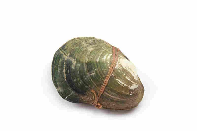 A Plagiola capsaeformis shell.