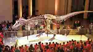"""""""Sue,"""" the Tyranosaurus rex skeleton, is one of the most famous exhibits at Chicago's Field Museum of Natural History"""