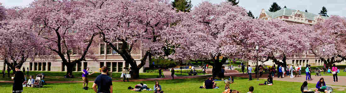 The cherry trees are in full bloom, on the University of Washington campus in Seattle.