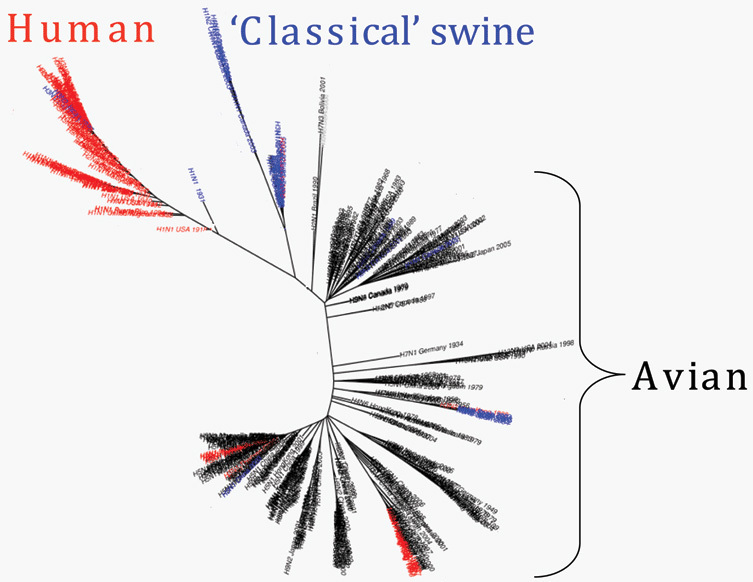 A family tree of influenza A shows how human viruses, red, are related to bird and swine flus.