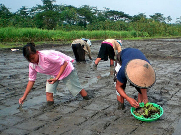 "Rice farmers in Indonesia plant rice seedlings using the ""system of rice intensification."""