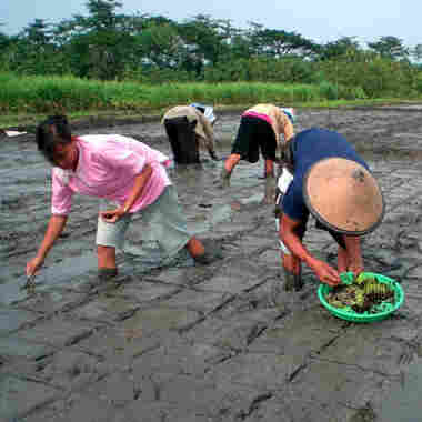 Unraveling The Mystery Of A Rice Revolution