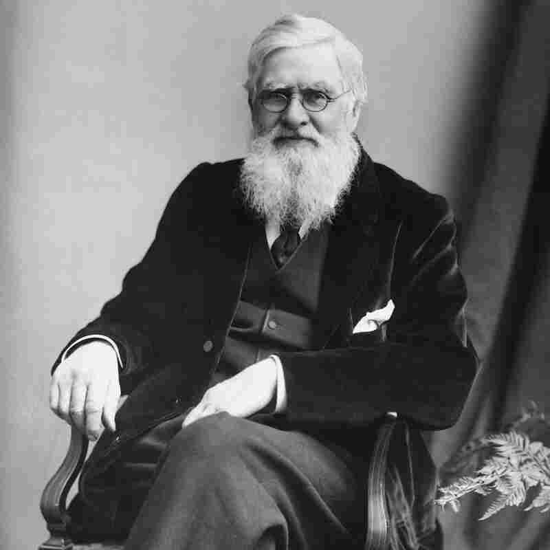 British naturalist Alfred Russel Wallace (1823-1913) played a pivotal role in developing the theory of natural selection. But over time, Charles Darwin became almost universally thought of as the father of evolution. Wallace also called for protecting endangered species.