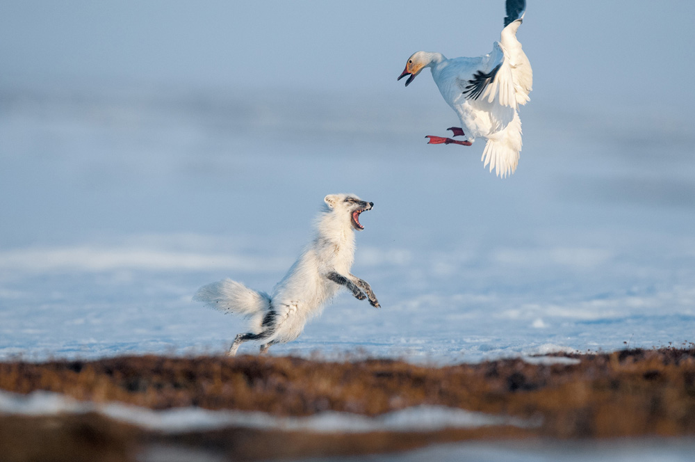 A feisty fox drives a snow goose from her nest, a gambit before an act of egg thievery. A colony of geese migrates to the island in May after wintering in North America.