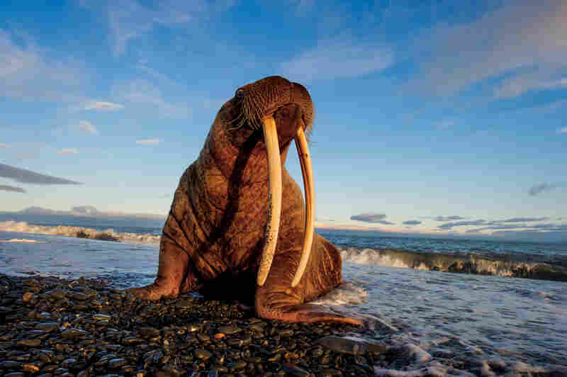 Wrangel's sprawling gravel spits are home to large haul-outs of Pacific walruses, especially since climate change has made their preferred habitat, the ice pack, ever more tenuous. A healthy adult like this big female usually holds its own in a fight with a polar bear.