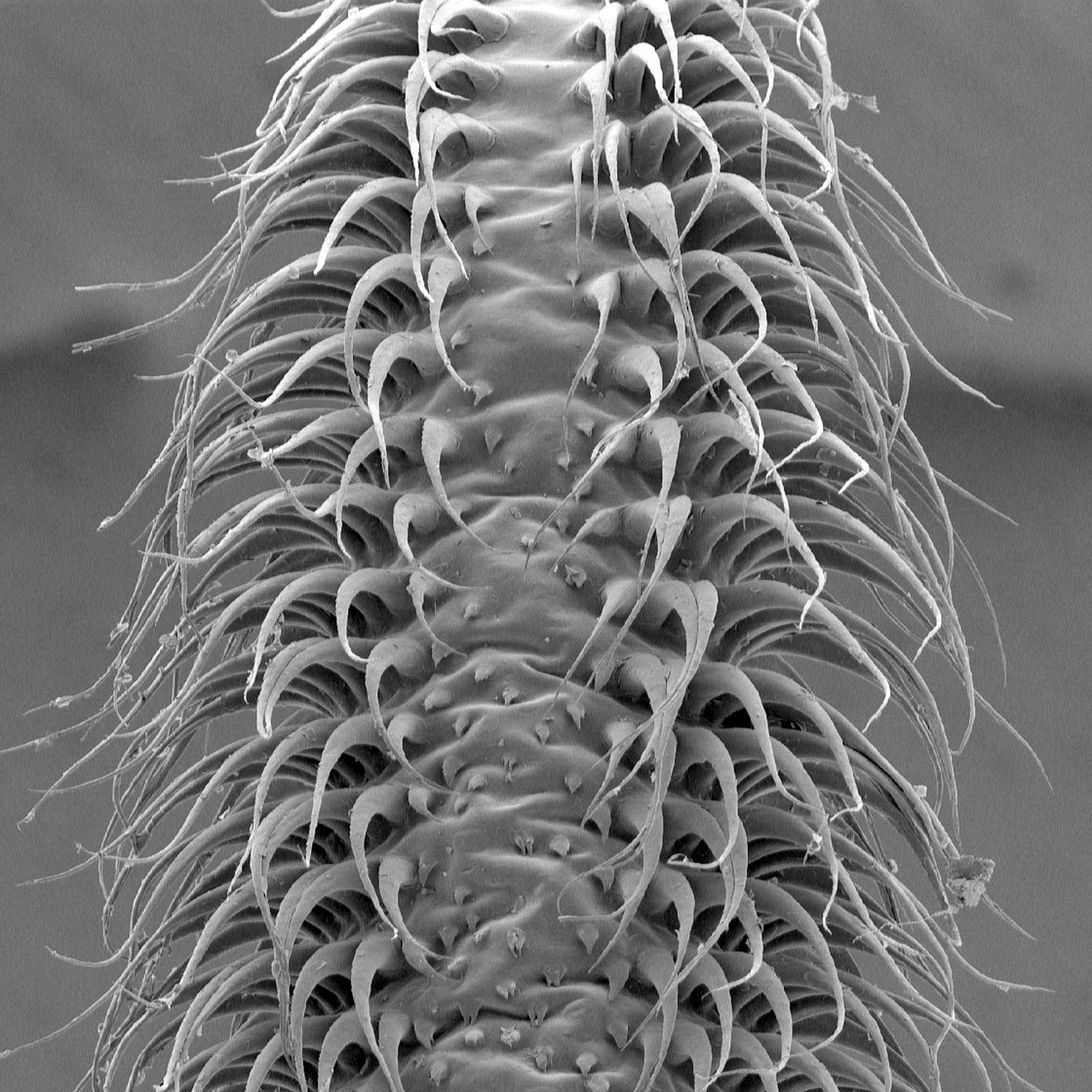 "This scanning electron microscope image of the tongue of the Pallas' long-tongued bat shows how the hairs on the surface stand up to catch liquid, turning it into a ""nectar mop."""