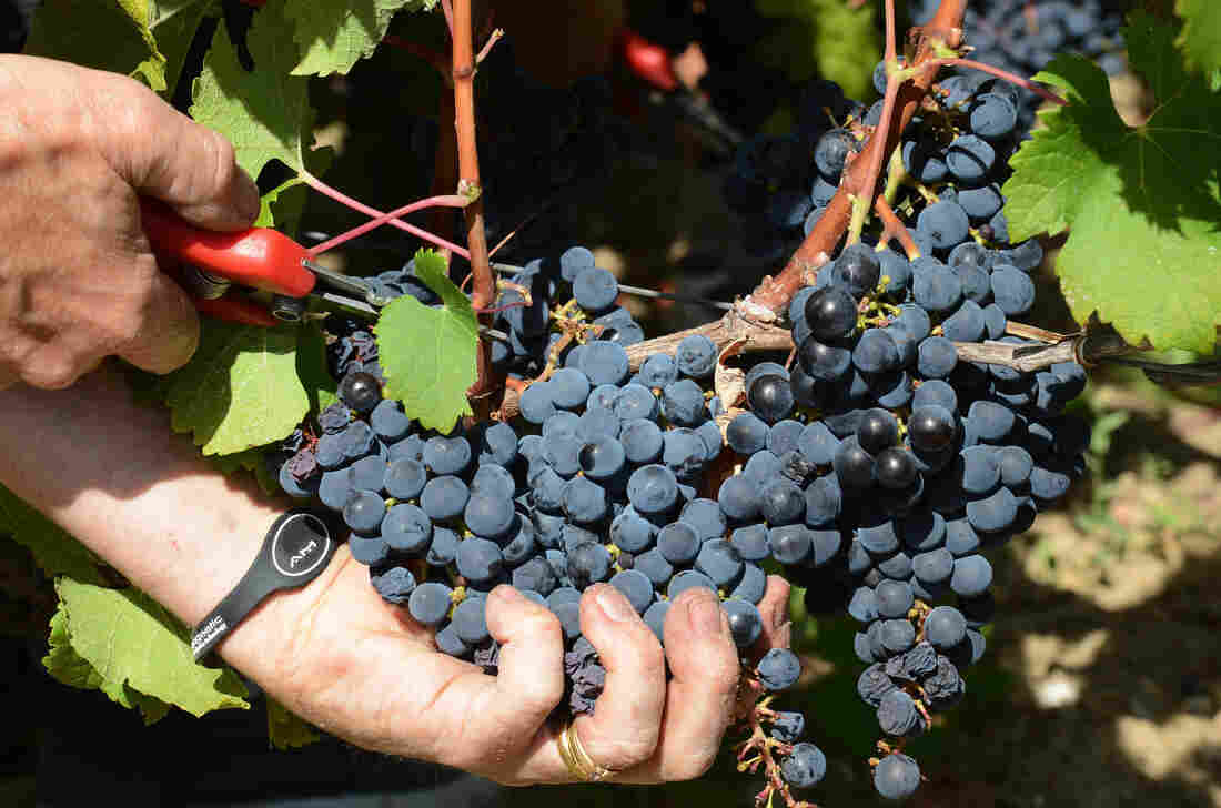 A worker harvests cabernet sauvignon grapes