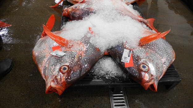 Among the 50,000 pounds of fish at the Honolulu auction last Friday was this opah, or moonfish, Lampris regius.