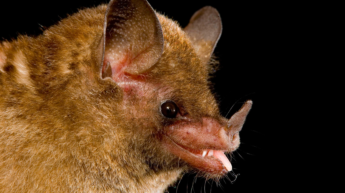 This Bat Knows How To Drink Npr