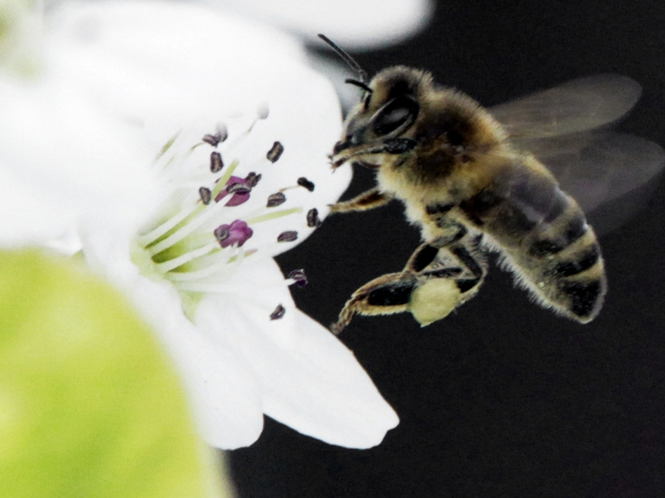 A bee collects nectar from a fruit tree in West Bath, Maine. The number of honeybees has now dwindled to the point where there may not be enough to pollinate some major U.S. crops. (AP)
