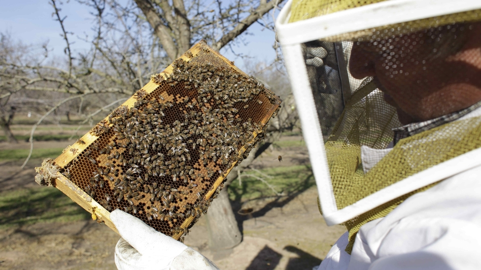 A bee inspector checks on a frame of bees to assess the colony strength near Turlock, Calif., in February. More than 30 percent of America's bee colonies died off over the winter. (AP)