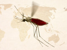 More than a hundred different species of Anopheles mosquitoes can transmit malaria to people.