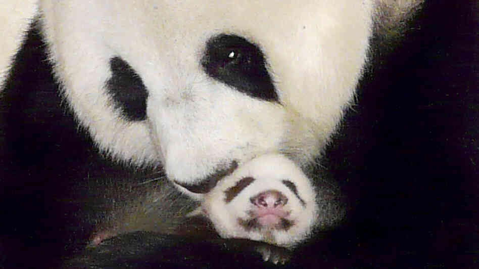 The giant panda Lin Ping, a star in Thailand whose mandatory trip to China was due at the end of May, can spend up to 15 years in Thailand, un