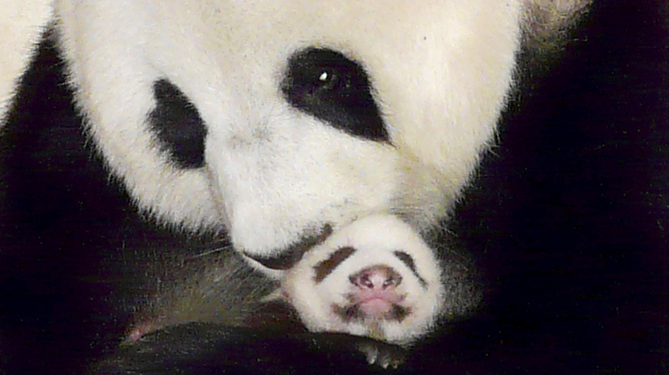The giant panda Lin Ping, a star in Thailand whose mandatory trip to China was due at the end of May, can spend up to 15 years in Thailand, under a deal announced this week. The 43-day-old Lin Ping was held by her mother, Lin Hui, in this  2009 photo. (AP)