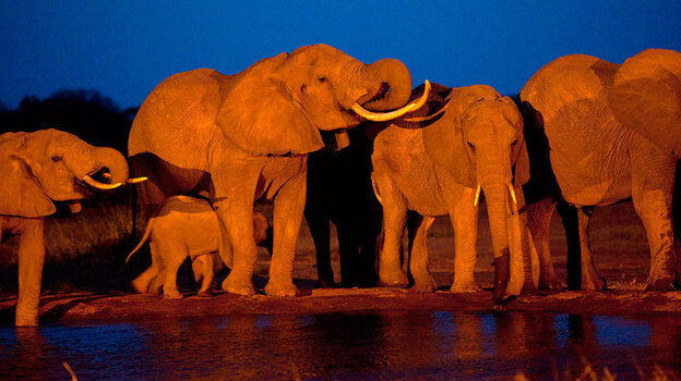 Elephants gather at dusk to drink at a watering hole in Kenya. (AP)