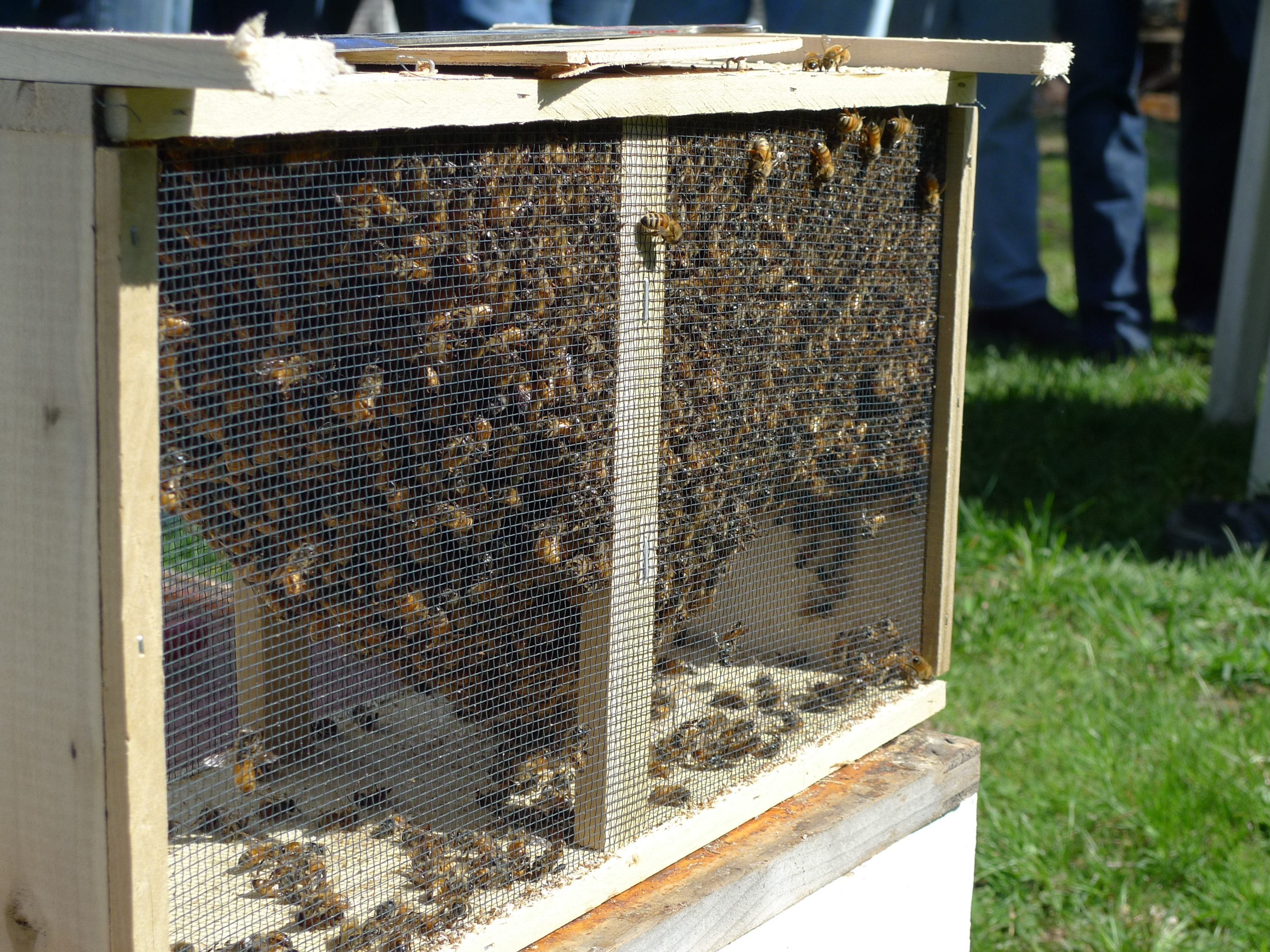 For Year-Round Buzz, Beekeepers 'Fast-Forward Darwinism'
