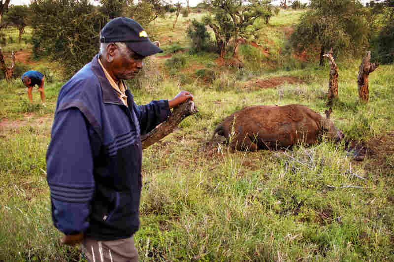 Mzee Kinyanjui is one of the first and longest-serving rangers to work for Lewa Conservancy. Now retired, he is often called upon for advice and guidance by the security department for his forensic skills.