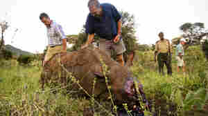The Enemy Inside: Rhino's Protectors Sometimes Aid Poachers