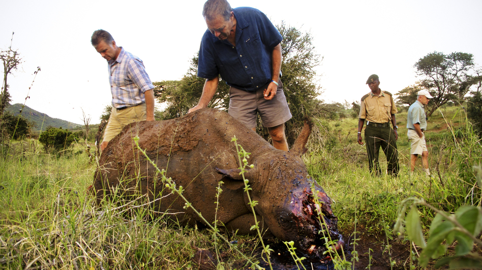 Mike Watson (left), CEO of Kenya's Lewa Conservancy, and conservationist Ian Craig identify the carcass of a 4-year-old black rhino named Arthur, whom poachers had killed the night before. The well-armed, well-informed poachers very likely used night vision goggles and a silencer on an AK-47. (NPR)