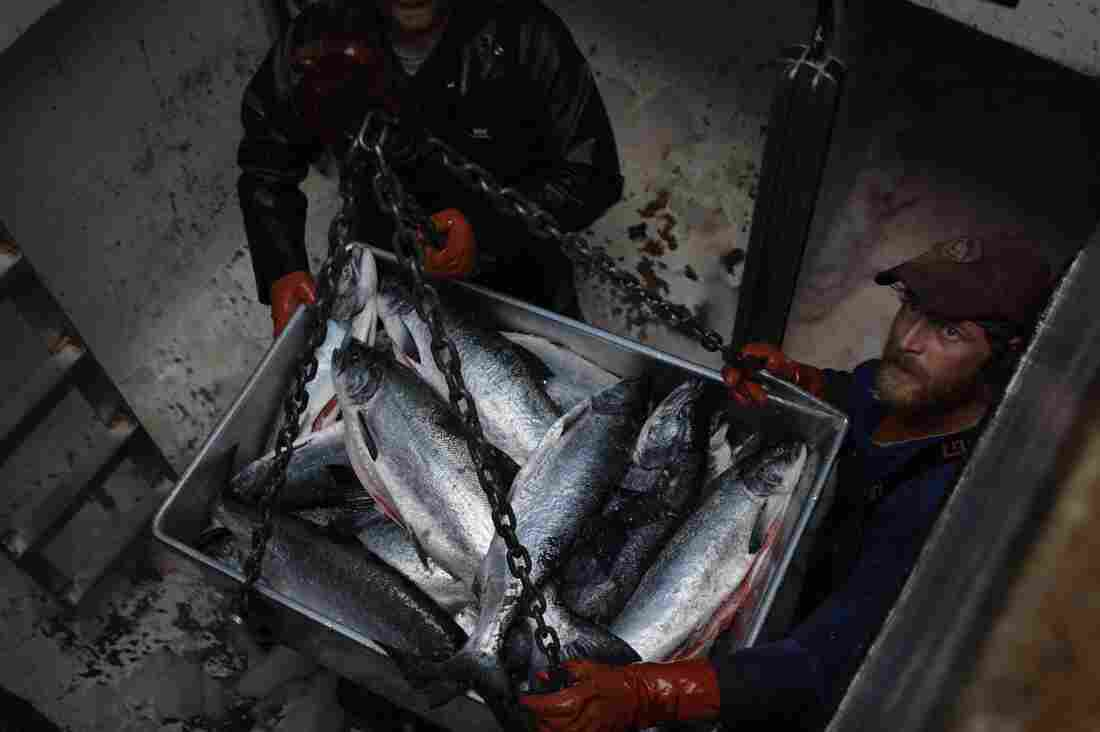 Crew members unload a catch of sockeye salmon at Craig, Alaska, in 2005. Researchers say fish are being found in new areas because of changing ocean temperatures.