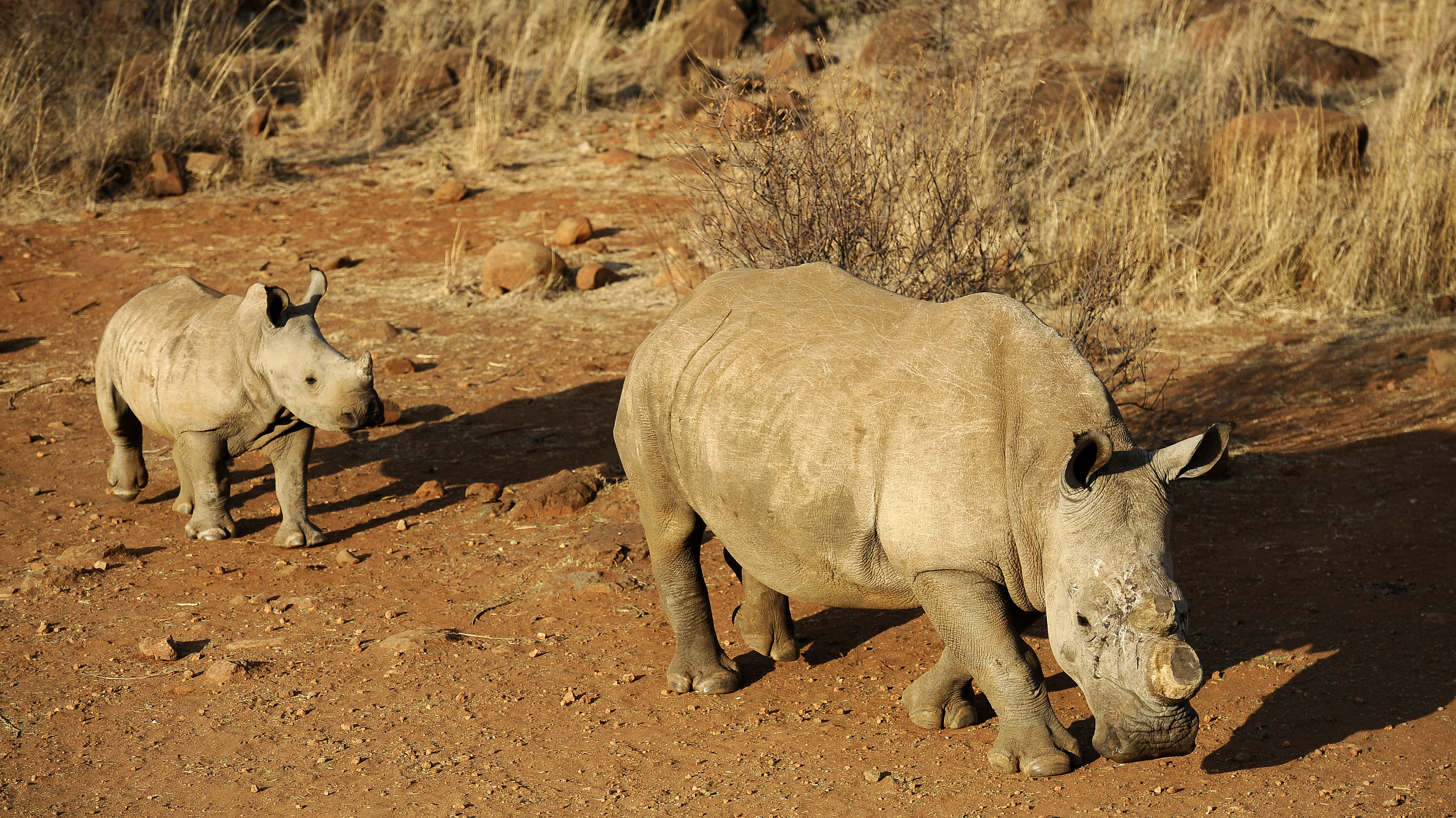 Can Economics Save The African Rhino?