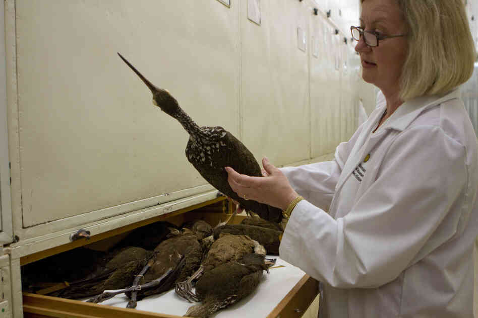 Dove has a good sense of the species she may be looking for. She pulls out a limpkin (a cranelike bird that lives in Florida) from one of the many drawers in the museum's bird collection