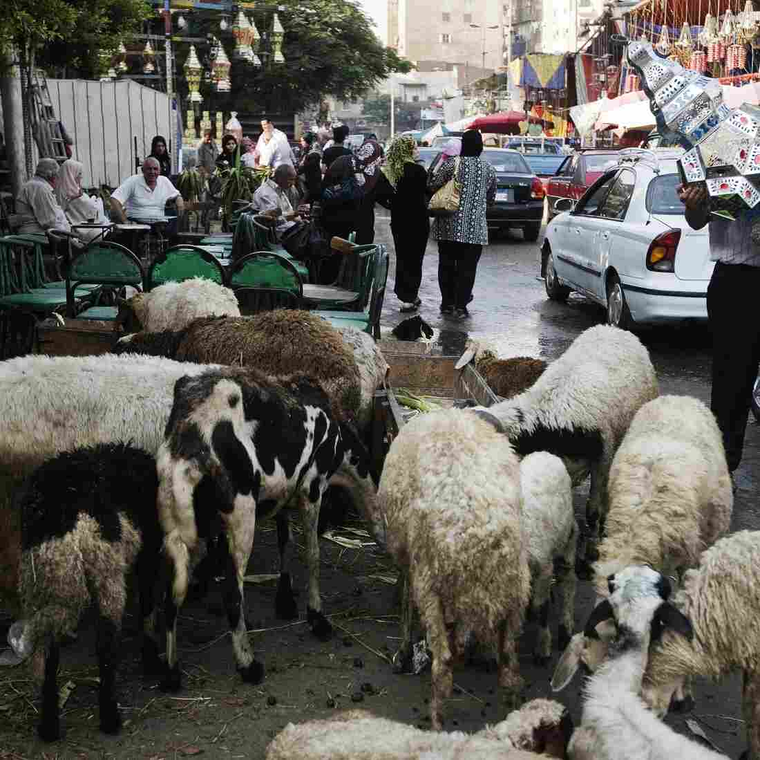Sheep graze in the street last year in Cairo.