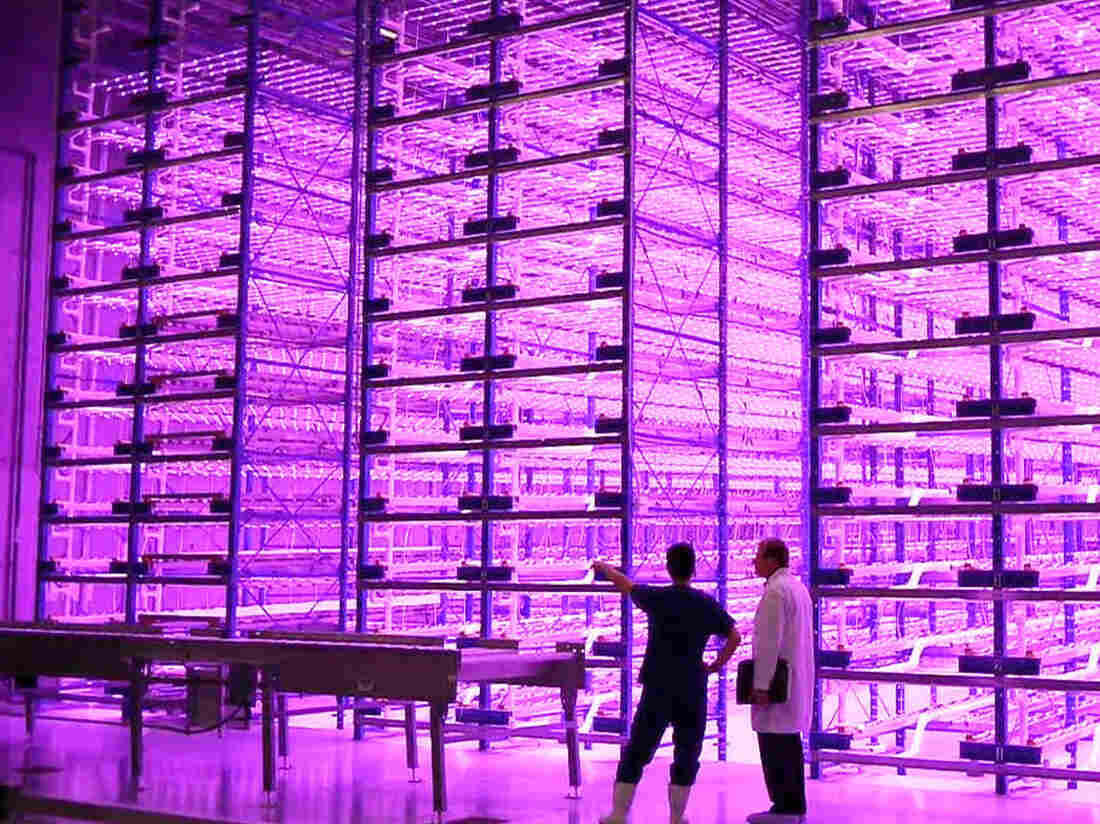 "This ""pinkhouse"" at Caliber Biotherapeutics in Bryan, Texas, grows 2.2 million plants under the glow of blue and red LEDs."
