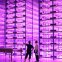 Horticulturists think vertical farming's future may lie in indoor warehouses lit up magenta by LEDs.