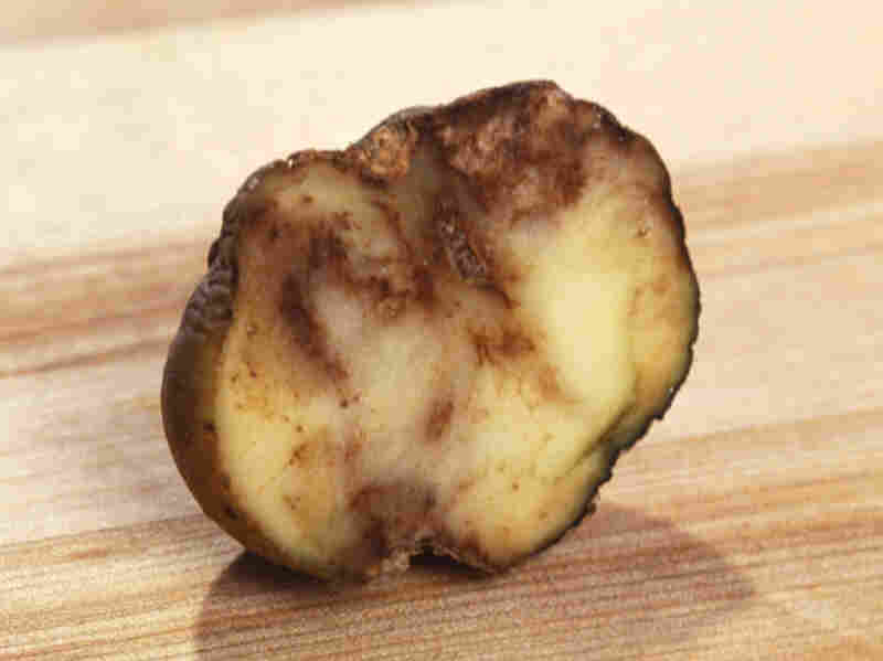 The funguslike organism Phytophthora infestans causes potato leaves to decay and tubers to rot.