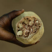 The baobob fruit is one of the 100 traditional African food crops that a group of scientists want to learn more about to improve nutrition.