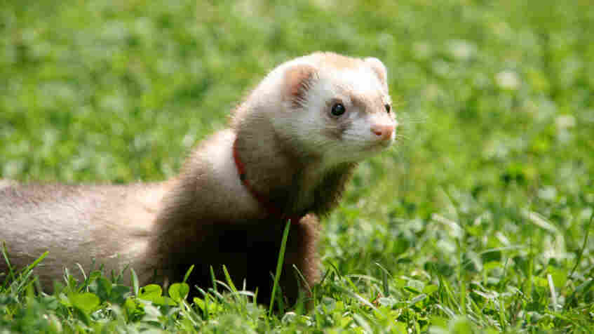 Of ferrets, men and bird flu.