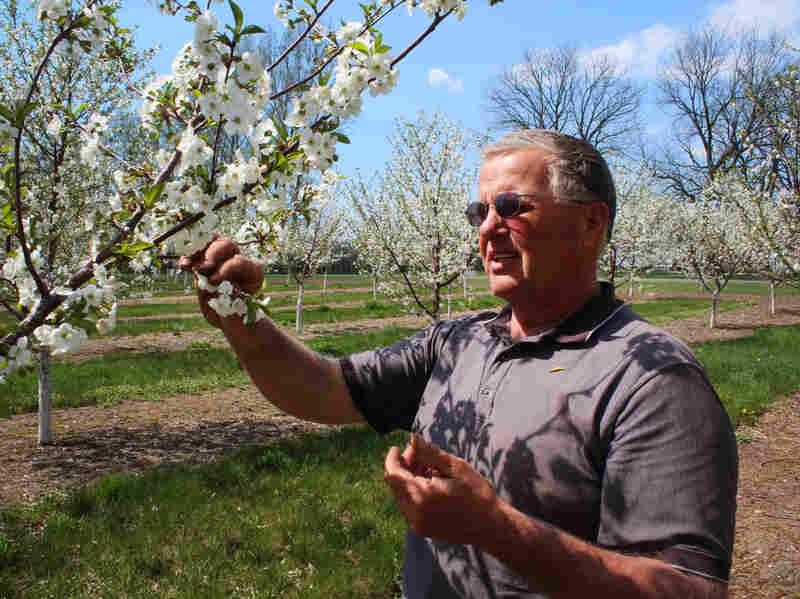 Mike Van Agtmael grows tart cherries on his farm near Hart, Mich.
