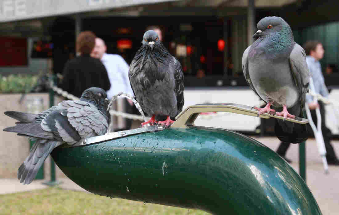 Three pigeons quench their thirst at a water fountain in Brisbane, Australia, in Aug. 2009.