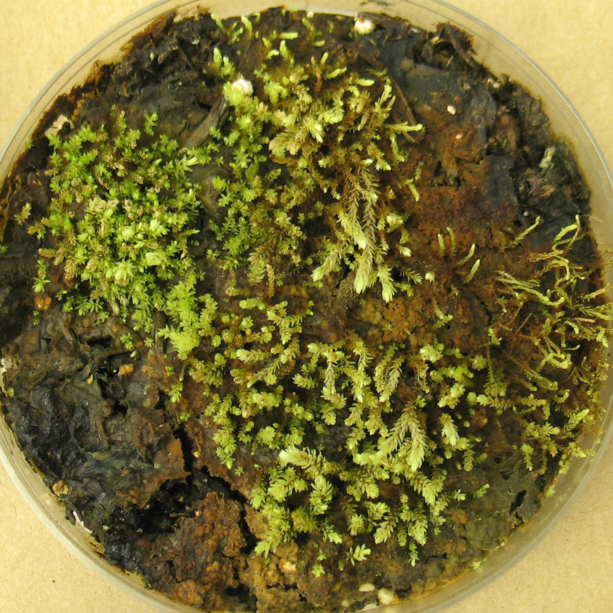 In the lab, scientists grew cultures of some of the plants found beneath the receding Teardrop Glacier. These are Aulacomnium turgidum, a relative of moss.