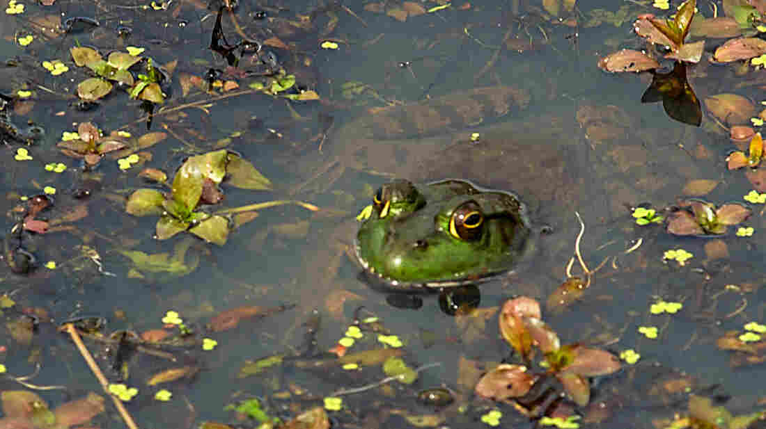 Populations of frogs and other amphibians are declining at an average rate of 3.7 percent each year, according to a new U.S. Geological Survey study.
