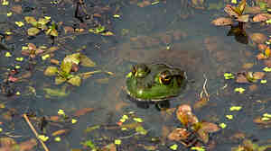 Populations of frogs and other amphibians are declining at an average rate of 3.7 percent each year, according to