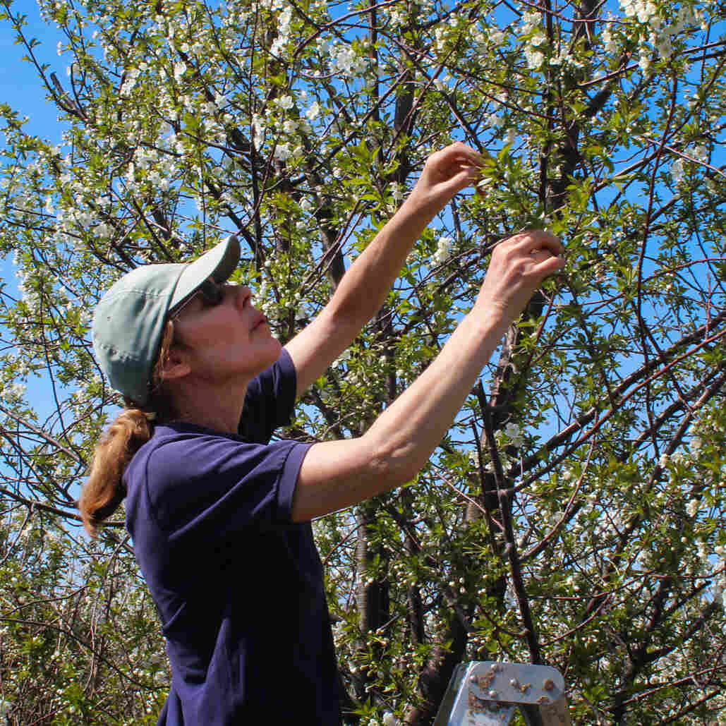 A Hungarian Cherry Tree's Long Trek To Michigan