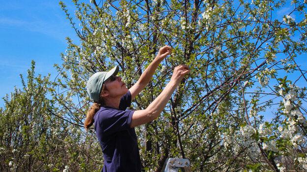 Amy Iezzoni of Michigan State University brought Balaton cherries to America.