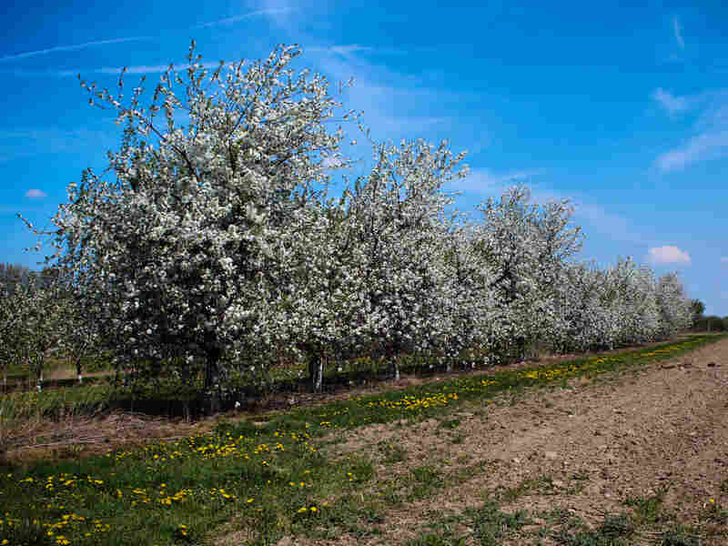 These Balaton tart cherry trees at Michigan State University's Clarksville Research Station are descendants of trees in Újfehértó, Hungary.