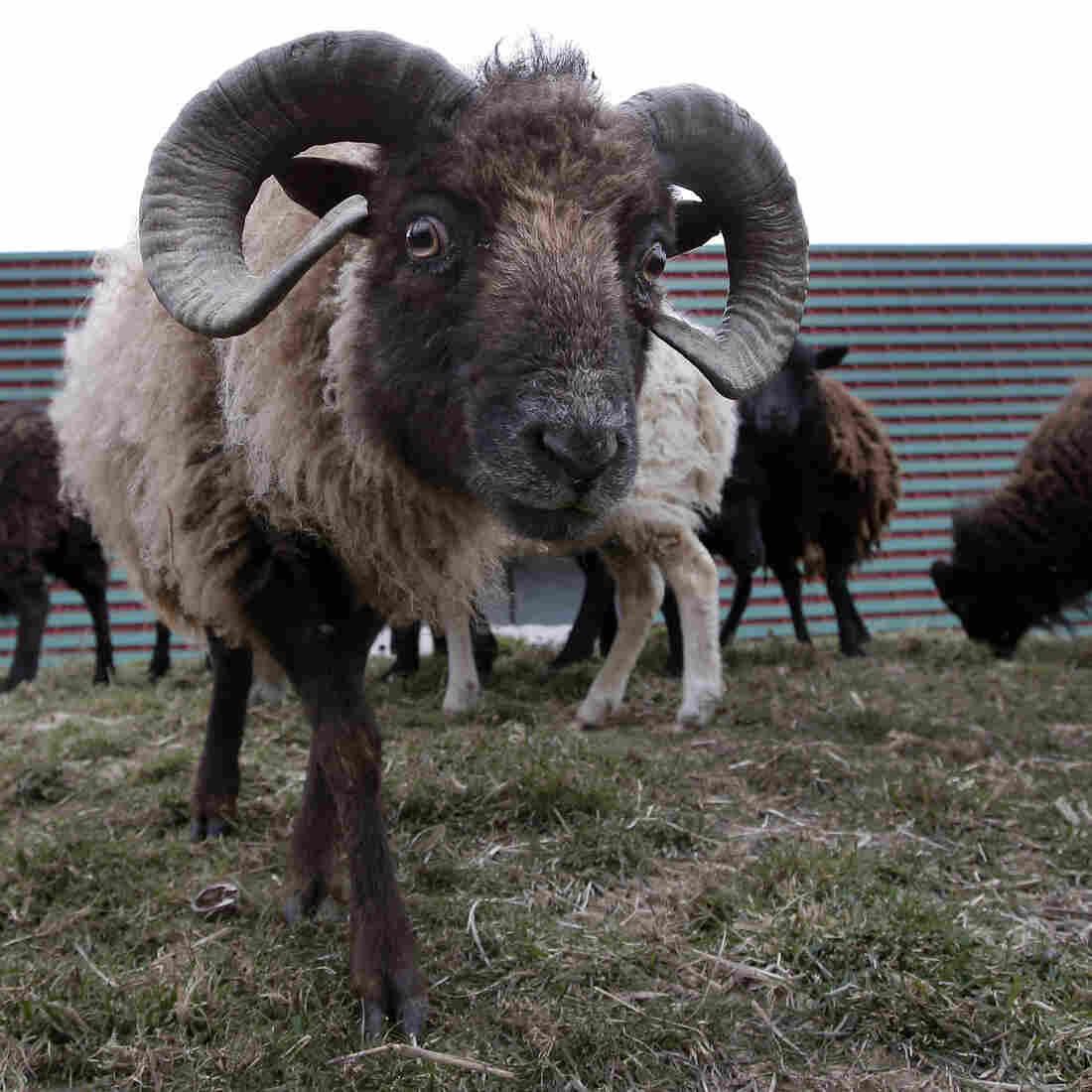 Let Them Eat Grass: Paris Employs Sheep As Eco-Mowers