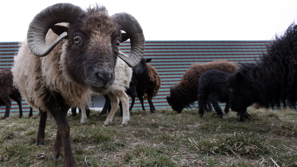 Sheep used to replace gas-guzzling lawn mowers graze at a truck warehouse at Evry, south of Paris. (Francois Mori/AP)