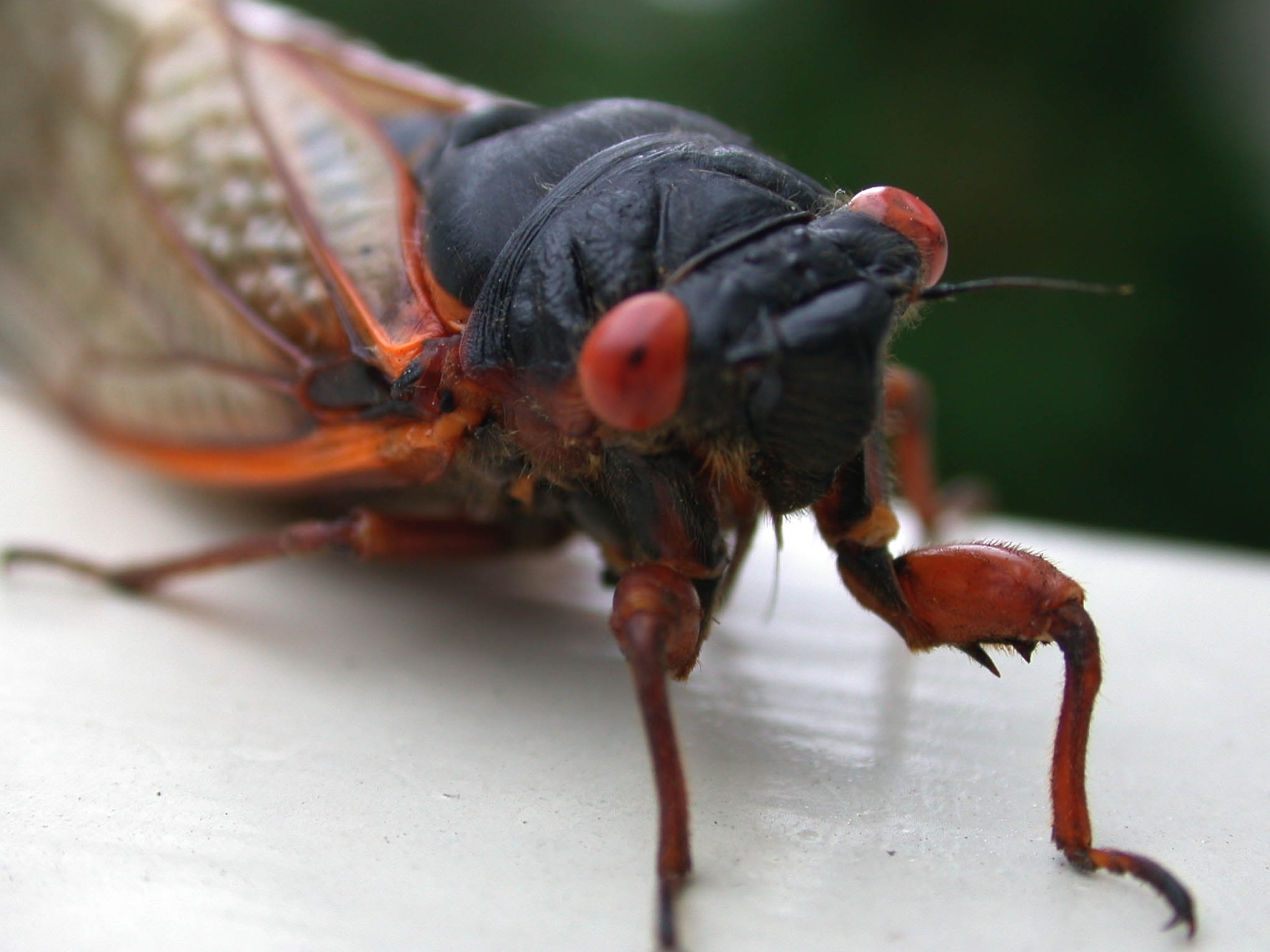 Cooking With Cicadas: No Weirder Than Eating Cheese?