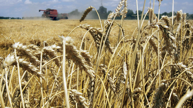 Genetically modified wheat has been discovered growing in a field in Oregon. GMO wheat is not approved for sale in the U.S. Above, a wheat field in Arkansas. (AP)