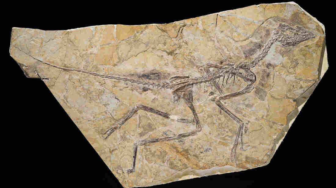 A photo released by the Royal Belgian Institute of Natural Sciences shows the skeleton of a recently discovered dinosaur dubbed Aurornis xui.