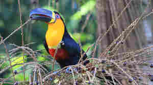 Big-Mouthed Toucans Key To Forest Evolution