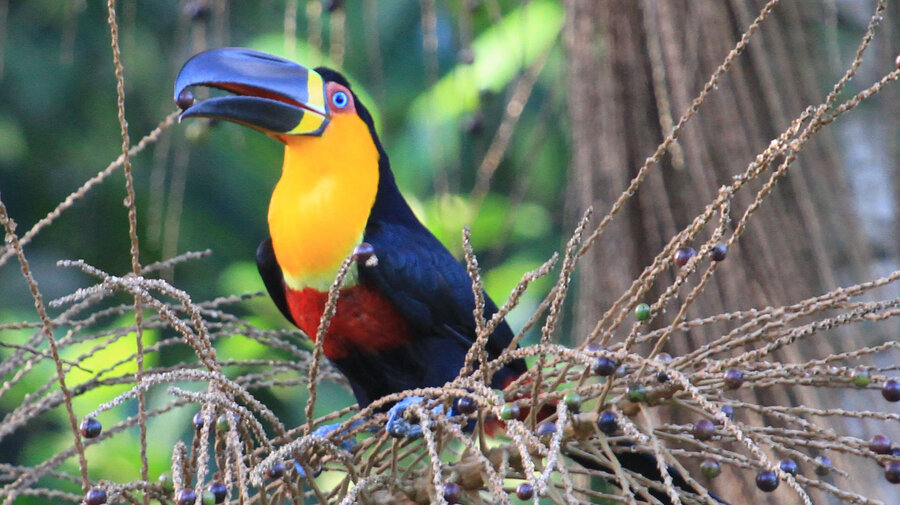 Channel Billed Toucans Are