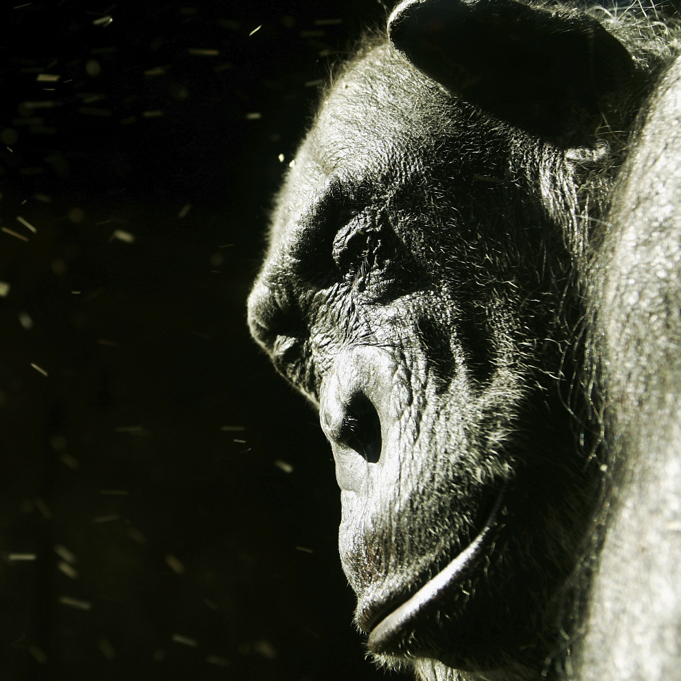 A chimpanzee closes its eyes from blowing dust.